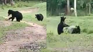 Two Wild Bears Spotted Running Around and Playing with a Football in Odisha's Nabarangpur, Video Goes Viral | WATCH