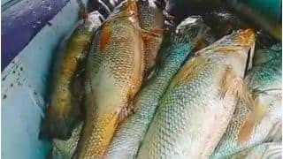 Why Are Ghol Fish So Rare And Expensive?