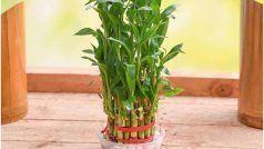 Bamboo Ke Vastu Upay: घर की इस दिशा में जरूर लगाएं बांस का पौधा, बंद किस्मत के दरवाजे जाएंगे खुल