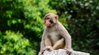 Monkey Snatches Rs 1 Lakh From Man in Autorickshaw, Throws Currency Notes on Road
