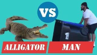 Viral Video: Giant Alligator Captured By a Man With a Help of a Trash Box   WATCH