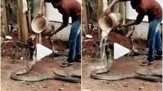 Viral Video: Man Gives Bath & Feeds Water to Thirsty King Cobra, His Kindness Wins Hearts | Watch