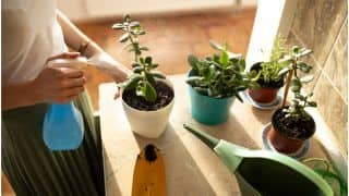Money Plant VS Coin Plant: Which is More Effective to Attract Money And Financial Prosperity At Home?